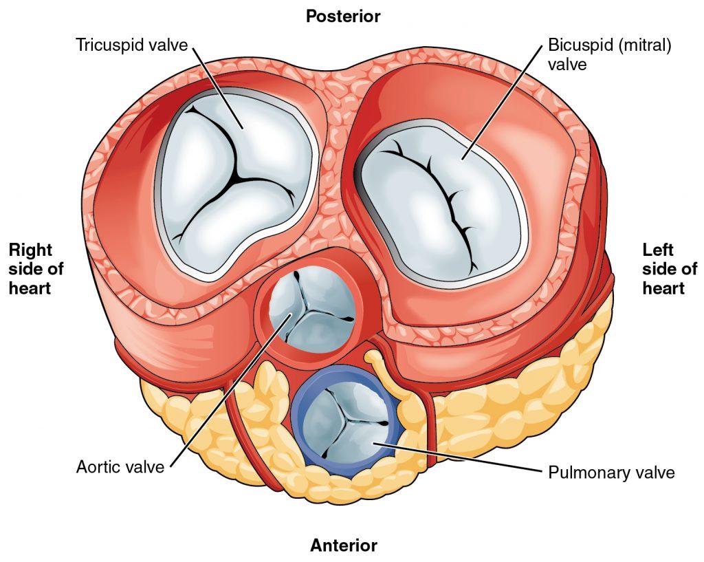 a diagram of the heart valves